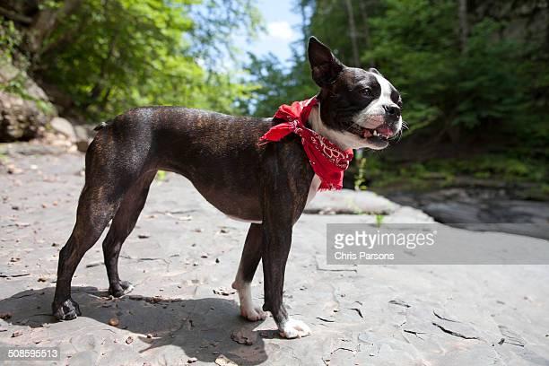 Boston Terrier exploring a rocky wilderness