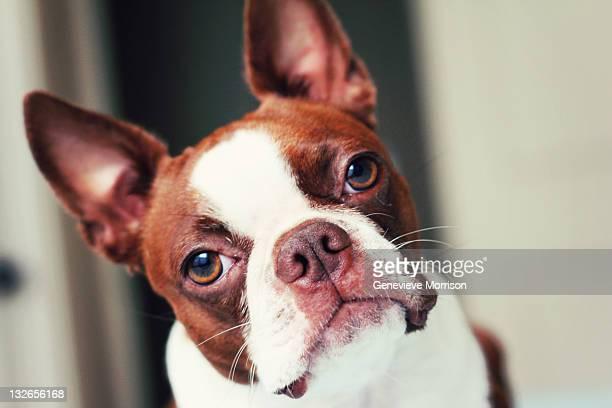 Boston terrier head tilt