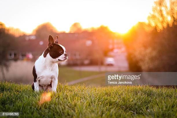 Boston Terrier in evening light