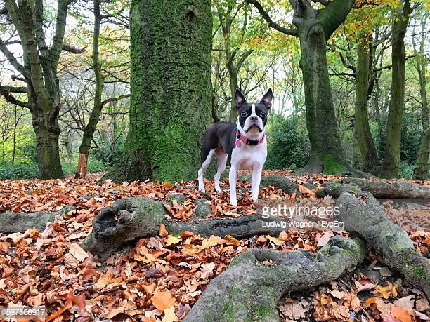 Boston Terrier In Forest During Autumn