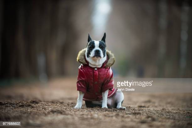 boston terrier in jacket, damyang county, south korea - jacket stock pictures, royalty-free photos & images