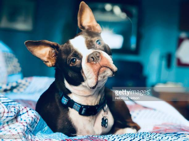 boston terrier laying on bed - head cocked stock pictures, royalty-free photos & images