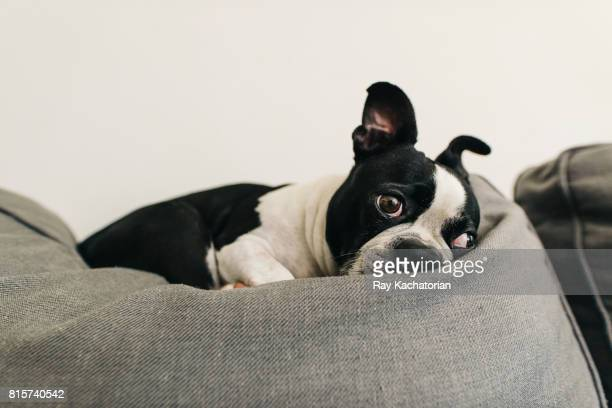 Boston terrier laying on pillow looking sad