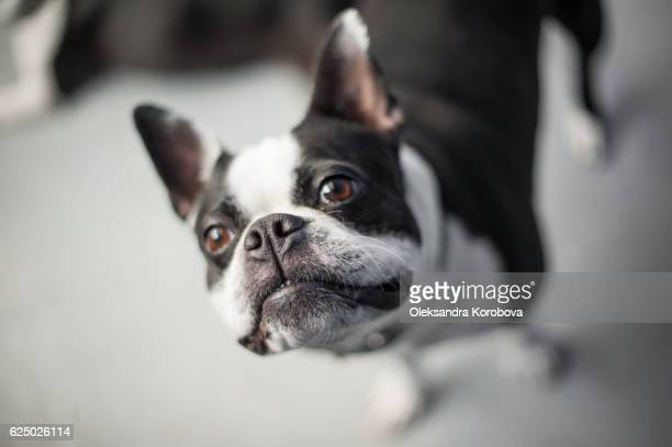 Boston terrier looking up at the camera while standing on a neutral floor.