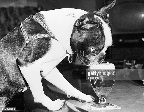 A Boston Terrier named Fritz enjoys a beer in a Chicago bar