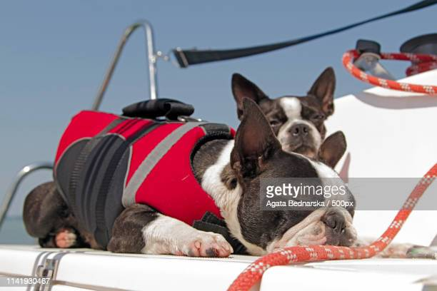 boston terrier on a sailboat - lazy poland stock photos and pictures