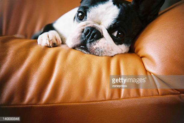 boston terrier on sofa - boston terrier stock photos and pictures