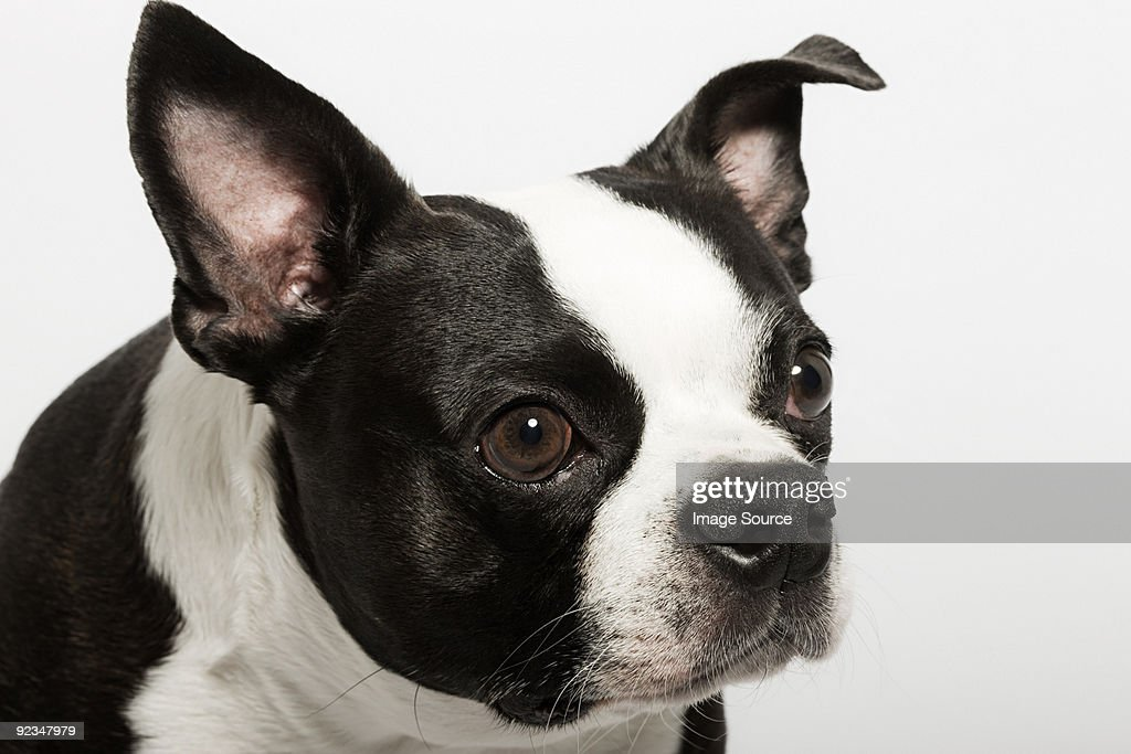 Boston terrier : Foto de stock