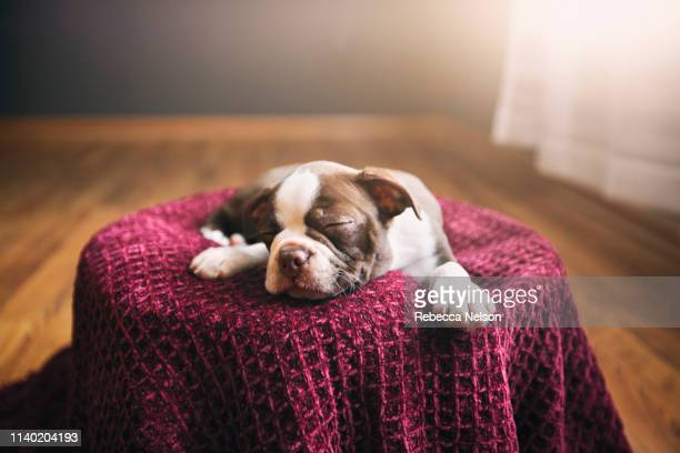 boston terrier puppy lying on purple blanket, eyes closed, sleeping - boston terrier stock pictures, royalty-free photos & images