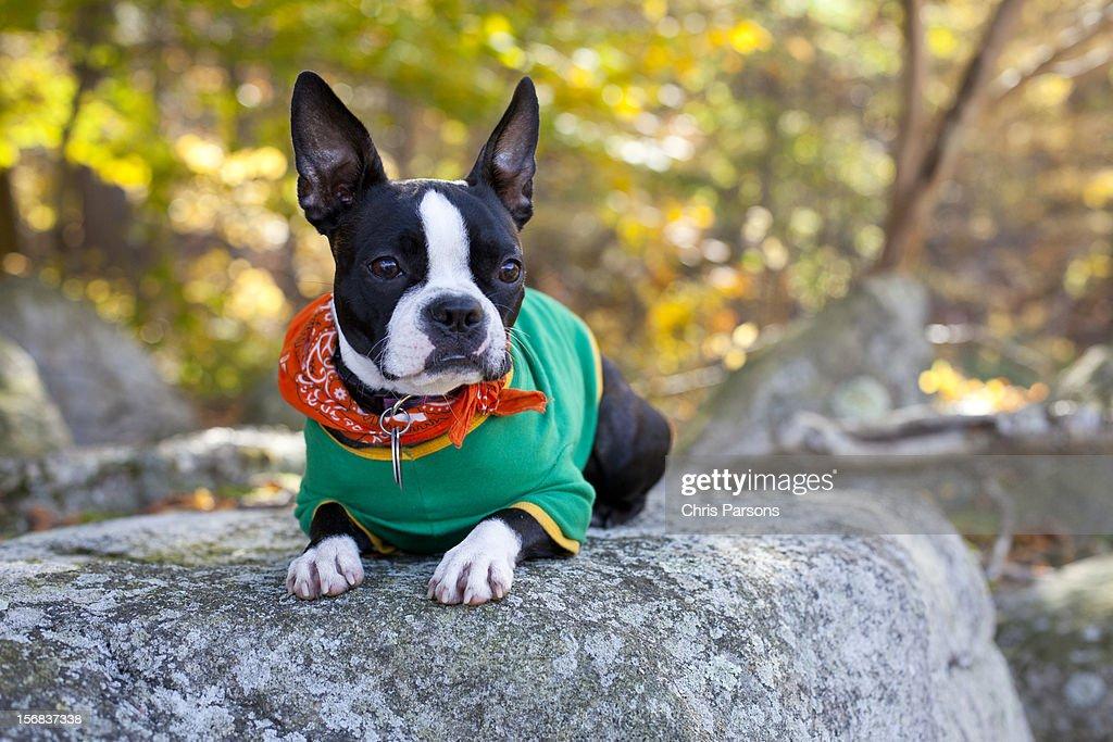 Boston Terrier puppy on rock in forrest. : Stock Photo