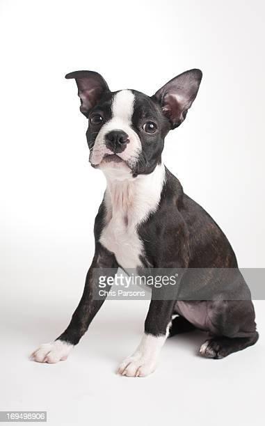 Boston Terrier puppy on white background