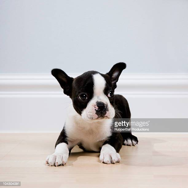 boston terrier puppy - boston terrier stock photos and pictures