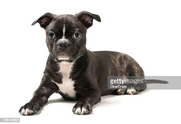 Terrier de Boston cachorro.