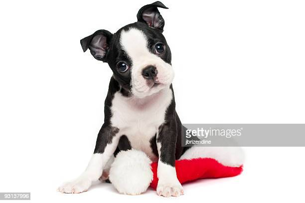 boston terrier puppy posing with its head tilting - christmas dog stock pictures, royalty-free photos & images
