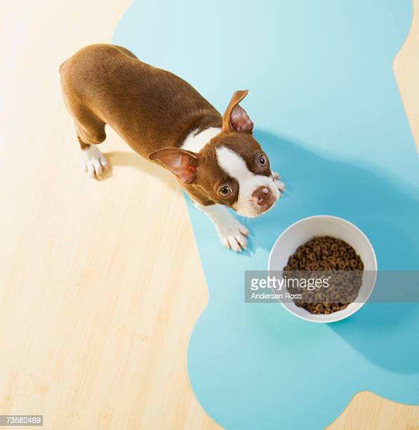 Boston Terrier puppy standing at food bowl