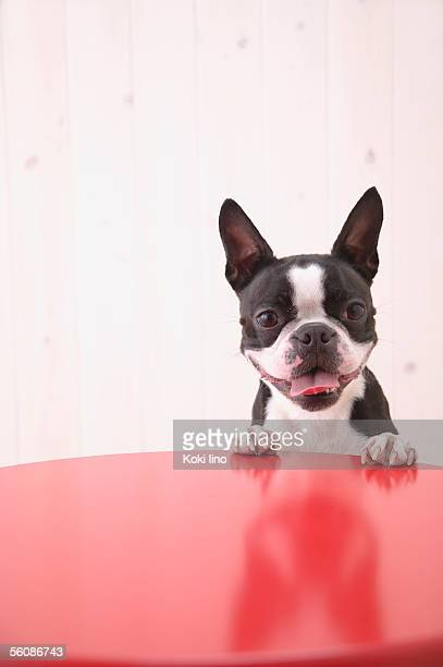 boston terrier sitting at a table - boston terrier stock pictures, royalty-free photos & images