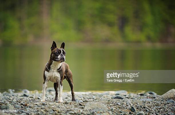 boston terrier standing by lake - boston terrier stock photos and pictures