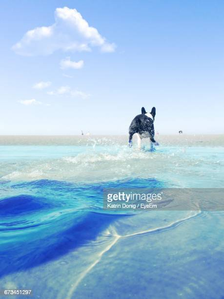 boston terrier walking on blue sea - taken on mobile device stock photos and pictures