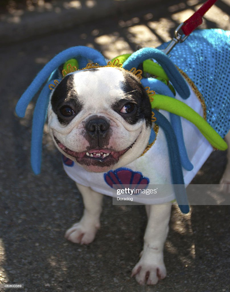 Boston Terrier Wearing Costume : Stock Photo