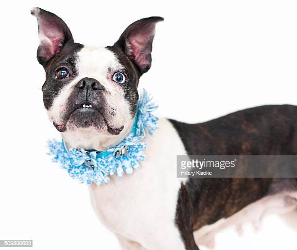 Boston Terrier wearing flowers