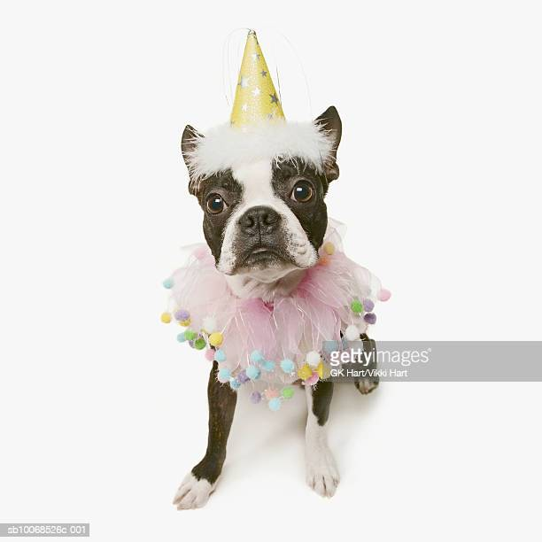 Boston Terrier wearing party hat and pink ruffle collar on white background, close-up