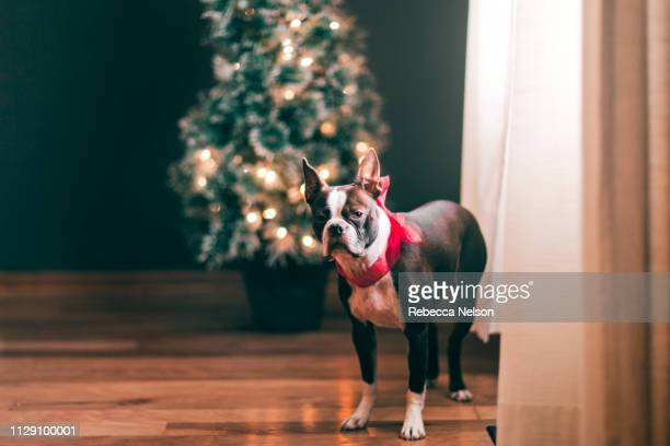 Boston Terrier wearing red bow, Christmas tree in background