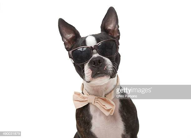 Boston Terrier wearing sunglasses and a bow tie