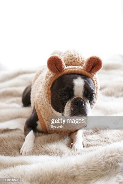 Boston Terrier wearing sweater