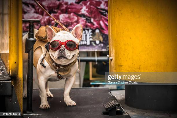 boston terrier with sunglasses - puggle stock pictures, royalty-free photos & images