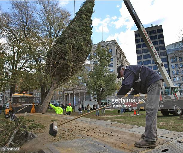 Boston's official Christmas Tree from Nova Scotia a 46 foot white spruce from Annapolis County arrives on Boston Common as truck driver Donald...