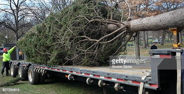 Boston's official Christmas Tree from Nova Scotia, a 46-foot white spruce from Annapolis County, arrives on Boston Common on nov. 21, 2008. The tree...