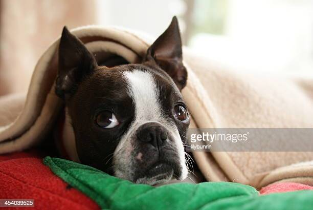 60 Top Boston Terrier Pictures Photos Images Getty Images