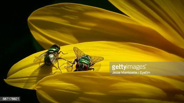 bot flies on sunflowers - bot fly stock photos and pictures