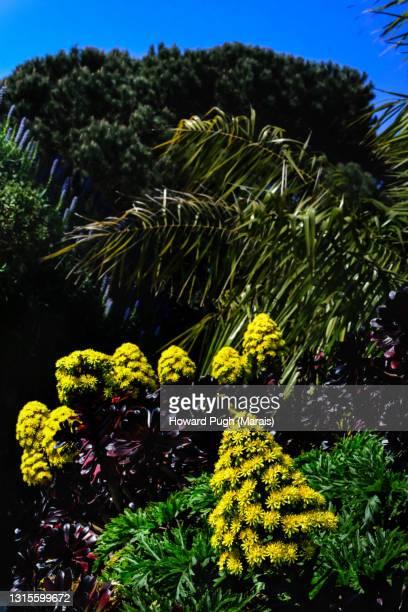 botanical names: aeonium arboreum and a. arboretum swarzkopf - howard pugh stock pictures, royalty-free photos & images