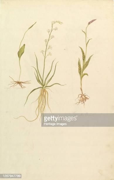 Botanical Studies Botanical Studies circa 1820 Artist Anon