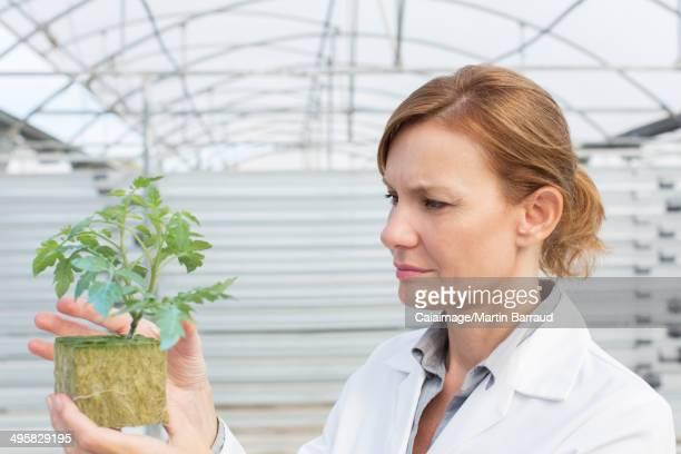 Botanist examining plant in greenhouse