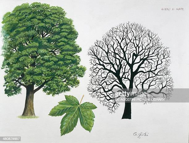 Botany Aceraceae family Sycamore Maple Drawing