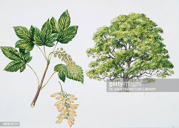 Botany Aceraceae Sycamore Maple with flower and leaf Illustration