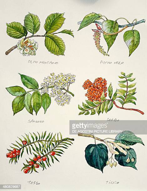 Botany Branches of Wych elm tree Black poplar Elderberry Rowan or European mountain ash English yew Smallleaved lime illustration