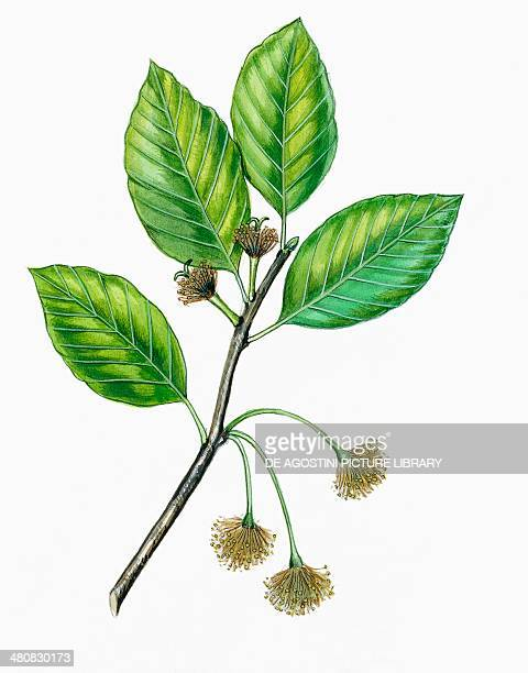 Botany Fagaceae Leaves and flowers of Beech illustration