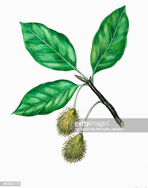 Botany Fagaceae Leaves and fruits of Oriental Beech illustration