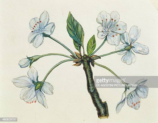 Botany Inflorescence Umbel illustration