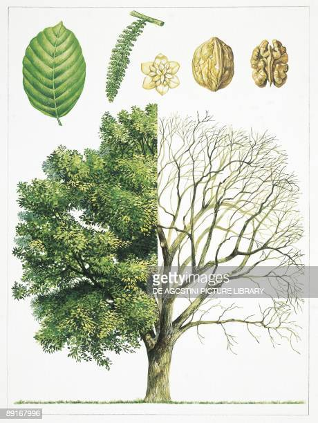 Botany Juglandaceae Walnut illustration