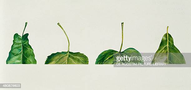 Botany Leaf bases auriculate truncate cordate cuneate Illustration