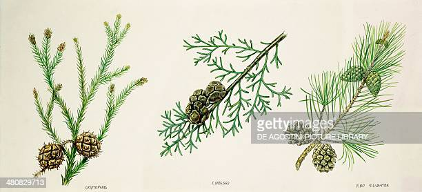 Botany Leaves and cones of Japanese Cedar Mediterranean Cypress and Scots Pine illustration