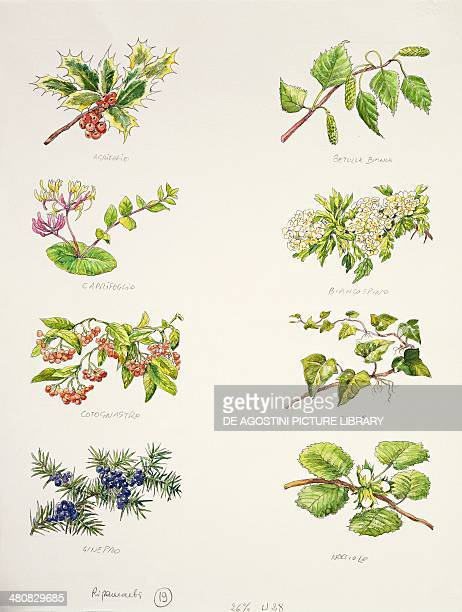 Botany Leaves and fruits of Holly White birch Honeysuckle Hawthorn Cotoneaster Ivy Juniper Hazel illustration