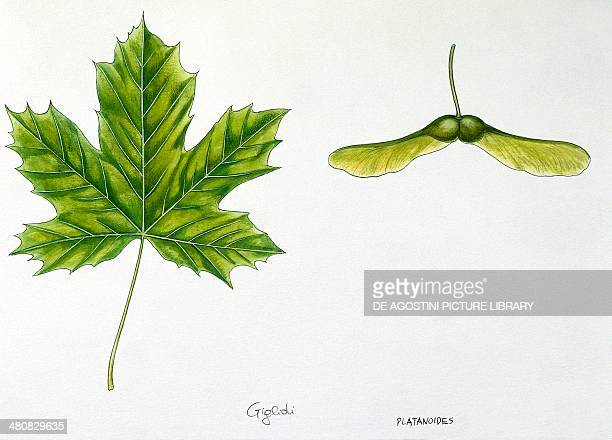 Botany Leaves and fruits of Norway Maple illustration