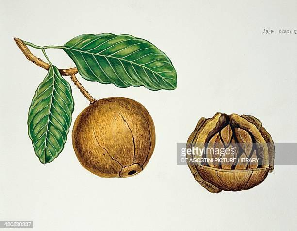 Botany Lecythidaceae Fruit of the Brazil nut illustration crosssection
