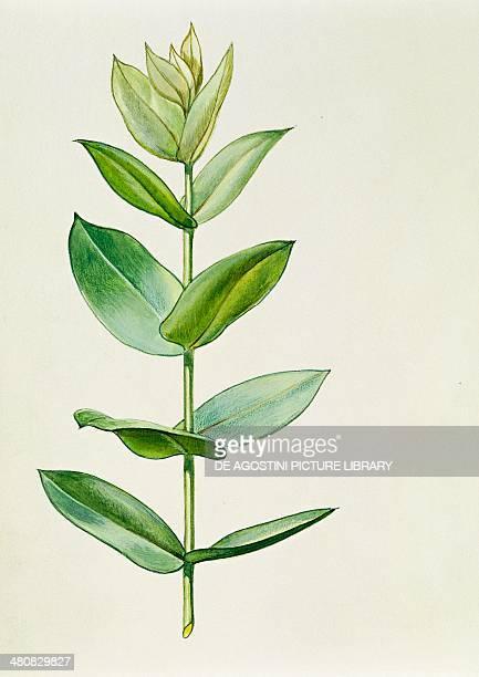 Botany Myrtaceae Young leaves of Blue Gum illustration