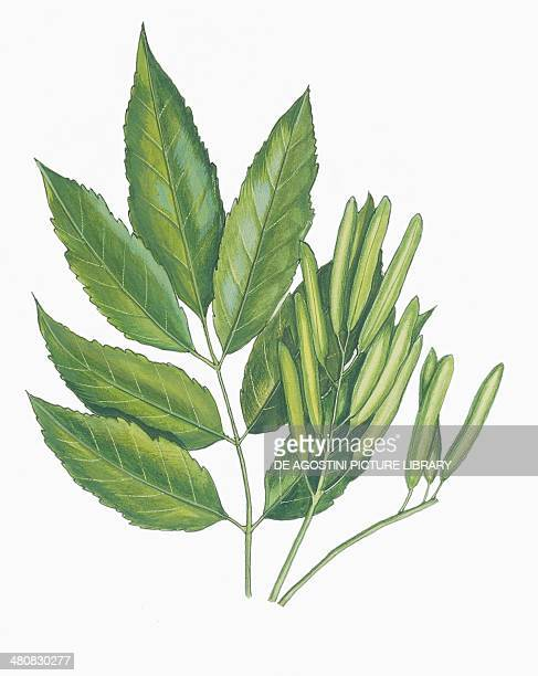 Botany Oleaceae Leaves and aggregate fruits of Manna Ash illustration